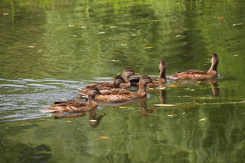 diligent ducks