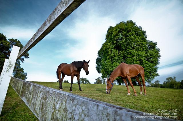 Kuda @ Horse