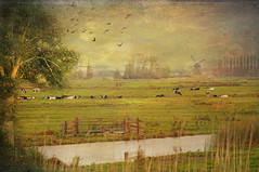dutch  landscape (maar73) Tags: texture nature dutch fauna landscape photo cows sony herfst meadow natuur september mills molen hollands weiland koeien plaatje pictures takenwithlove mygearandme maar73 sonyslta55 lenabemanna