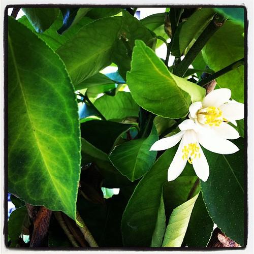 fiori di limone by larinani