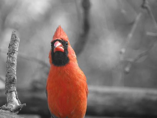 Cardinal (Isolated Red) by matt-wren