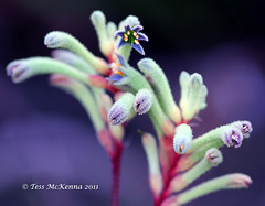 Explored Front Page 3 July # 61 Kangaroo's Paw   2011 095 (Tess Mc Kenna Home) Tags: flowers botanicgardens