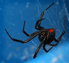 Widow0422b (heyrod) Tags: spiders blackwidow arachnids sigma105mmf28macro canon430exflash diydiffuser macrolife canoneos60d