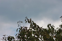 Goldfinch On Tree (aaron_eos_photography) Tags: summer tree nature birds garden inflight pigeon dove goldfinch sunday july bluesky wingspan overhead doves collareddove gardenwildlife wingspread nygerseed birdwildlife