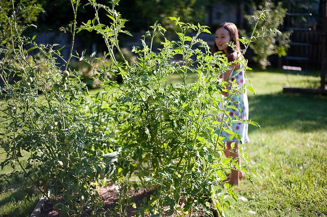 huge tomato plants