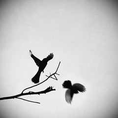 ( madelyn) Tags: white abstract motion black blur macro bird birds silhouette square fly wings nikon branch flight wing feathers dream feather surreal australia monotone queensland dreamy 28 flapping tamron 90mm takeoff vignette flap f28 fairywren d90 httpwwwfacebookcommhphotographics