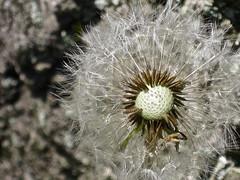 Broken Dandelion (So Let us Create) Tags: flower beautiful pretty fluffy dandelion wish puffy dandy wishing magestic