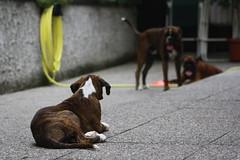 Tyson Ian Iris (deboh76) Tags: dog pet cane boxerdog crew bunch boxer gruppo mucchio canidi patafruttoli boxercrew