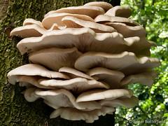 Oyster Mushrooms (Roger B.) Tags: unitedkingdom sheffield bracket fungi fungus pleurotus beech rivelinvalley southyorkshire gbr oystermushroom pleurotusostreatus