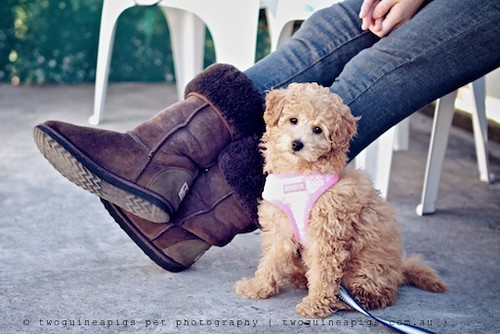 Mika miniature poodle, twoguineapigs pet photography at Dogue's Winter Sale 2011 in Manly