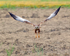 """Y"" (Andrew Haynes Wildlife Images) Tags: nature wildlife norfolk nwt marshharrier cleymarsh ajh2008"