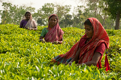 Tea Pickers at Finlay Tea - Srimongal, Bangladesh (uncorneredmarket) Tags: people women tea bangladesh teagardens teaestates manuallabor aes srimongal teaplantations teapickers sylhetdivision sreemangal