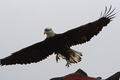 6 (10 of 26) (Eagle Whisperer) Tags: ocean nw pacific eagle shores whisperer