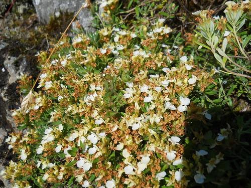 Alpine Germander (Teucrium montanum)