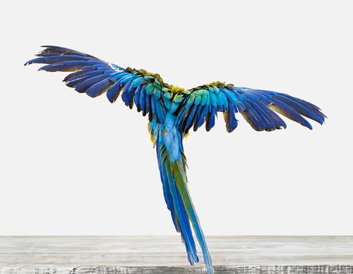 Macaw-01