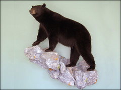 "Black Bear Taxidermy • <a style=""font-size:0.8em;"" href=""http://www.flickr.com/photos/27376150@N03/5930346953/"" target=""_blank"">View on Flickr</a>"