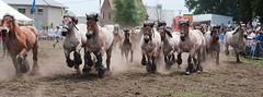 trekpaardenhappening -3- (Jan 1147) Tags: horses belgium action event happening horsepower paarden actie evergem paardenkracht trekpaardenhappening