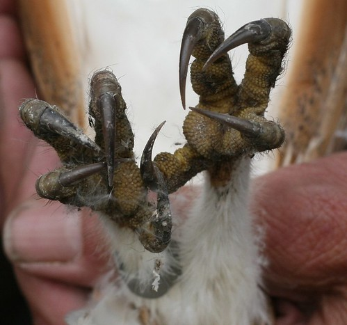 Barn Owl feet