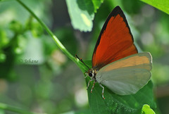Have a great day! (Jehane*) Tags: india butterfly nikon chennai jehane 2011 cheekybutterfly nikond5000 jehanephotography