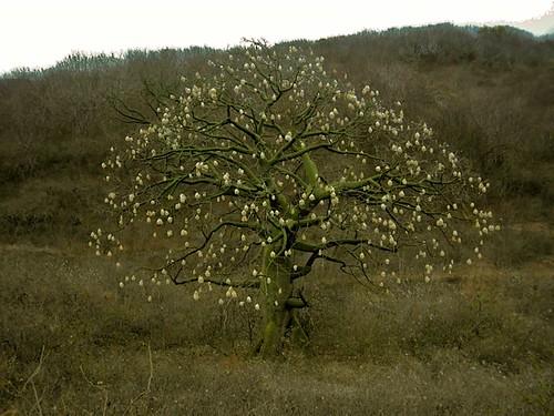 ceibo-tree-bahia