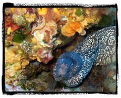Зеленая мурена среди аквалангистов