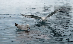 Southern Fulmar, Paradise Bay, Antarctic Peninsula (Terathopius) Tags: antarctica antarcticpeninsula nikond80 southernfulmar fulmarusglacialoides nikonafvr80400mmf4556ded