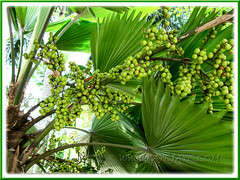 Licuala grandis (Vanuatu/Ruffled Fan Palm, Palas Payung): a closeup on its immature fruits