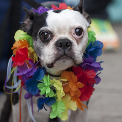 This dog has quite a bit of pride (San Diego Shooter) Tags: gay portrait dog dogs sandiego streetphotography pride gaypride hillcrest sandiegopride sandiegogayprideparade sandiegogaypride dogincostume sandiegostreetphotography gaypridedog gaypride2011 sandiegogaypride2011 sandiegogayprideparade2011