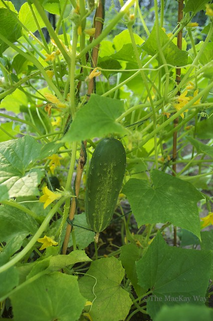 The first cucumber of the season!