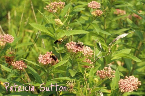 04-SnowberryClearwing on SwampMilkweed-GoshenMeadow-Aug 1980-w-signature