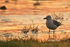 Mono Lake Gull (Panopticonian) Tags: lake mono coast seagull gull