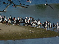 Black Skimmers and Whimbrels (Hart Walter) Tags: gulls egrets sanderling avocet americancoot leasttern blackskimmers turnstones whimbrels birdsofmalibulagoon summerbirdsofcalifornia shorebirdsofthepacificcoast malibubirds