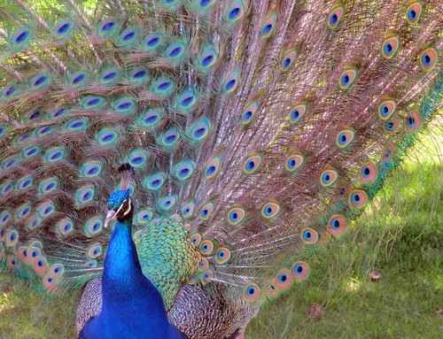 Beautiful peacocks #1