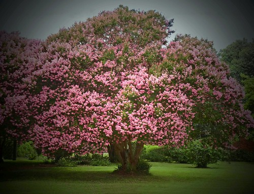 Old Crepe Myrtle Tree:  Tarboro, NC