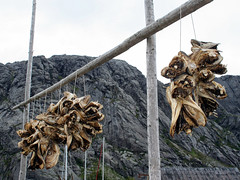 Drying cod heads, Nusfjord (larigan.) Tags: tourism boats lofoten touristattraction fishingvillage lofotenislands flakstad nusfjord rorbua larigan phamilton fishermensshacks licensedwithgettyimages ginordic1 unescoculturalprotectionproject driedcodheads