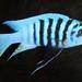 "Metriaclima sp ""zebra chilumba"" 'Maison Reef'"