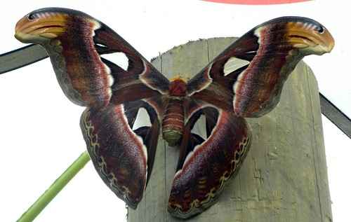 (giant) atlas moth by belgianchocolate