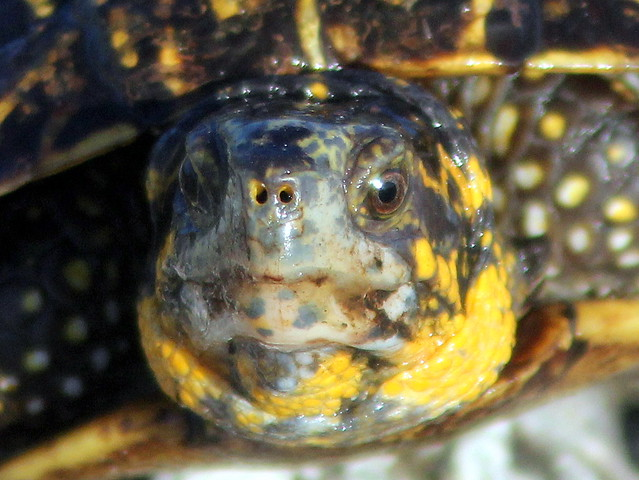Florida Box Turtle face 20110721