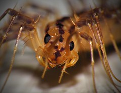 House Centipede-- Insect Nightmare... (Sea Moon) Tags: black yellow gold us cosmopolitan unitedstates tan domestic northamerica predator centipede pest pincers nonnative venomous invasive introduced housecentipede scutigeracoleoptrata scutigera myriapoda nonindigenous chilopoda scutigeromorpha scutigeridae