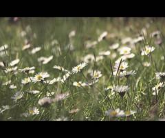 a beautiful mess (untiefen) Tags: flower green grass canon 50mm blossom bokeh sommer meadow wiese gras grün blüte shallowdof citynature 50d 055prob canoneos50d offenblende blumenundpflanzen untiefen frühblüter