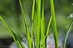 Morning dew on green grass leaves (e.nhan) Tags: life light green art nature water leaves closeup drops colorful dof bokeh backlighting enhan