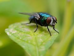 Copy - DSC_0141 (edited) (Darrel Flint) Tags: macro closeup bug insect fly nikon flies d7000