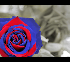 (3    d ) Tags: blue red rose canon eos football fans  barcha     3houd ohoud