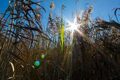 Amongst the reeds (SimonGrantPhotography) Tags: park sun green reeds sydney australia