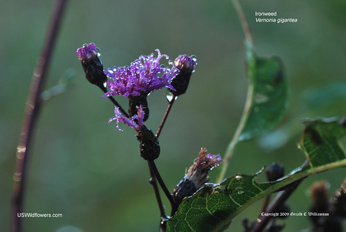 Tall Ironweed, Giant Ironweed, Ironweed - Vernonia gigantea