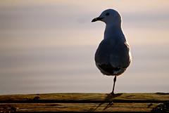a pirate seagull (nakedcameraguy) Tags: sunset sea newzealand sun lake birds animals silhouette landscape bay nikon rotorua gull nz geothermal hannahs d60