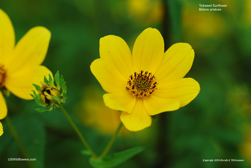Bearded Beggarticks, Tickseed Sunflower, Bur Marigold - Bidens aristosa