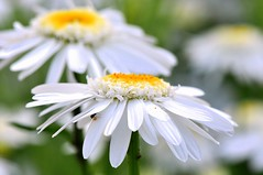 Two fried eggs for breakfast (SpitMcGee) Tags: england white daisies sissinghurst kent bokeh margeriten weis twofriedeggsforbreakfast zweispiegeleierzumfrhstck