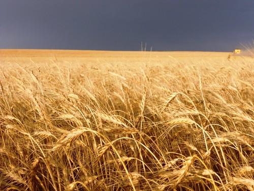 Dark sky and wheat