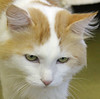 Green eyes (phoppernowlin) Tags: male beautiful cat pretty sweet tail sydney longhair july kitty shelter adopted humanesociety 4yrs 2011